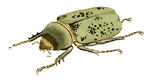 Beetle Drawing